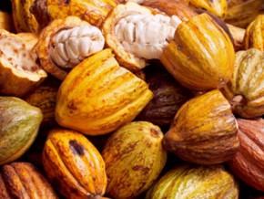 la-caisse-de-stabilisation-et-de-péréquation-lance-officiellement-la-phase-2-du-programme-de-relance-des-filières-cacao-café