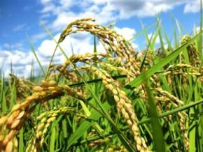 le-gabon-compte-se-lancer-dans-la-culture-du-riz-dans-un-mois