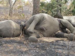 25-000-éléphants-éléphant-auraient-été-massacrés-par-les-braconniers-en-10-ans-au-gabon-selon-le-pr-john-poulsen