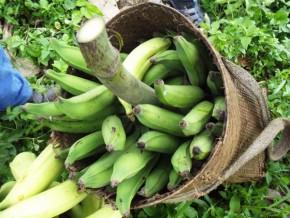 la-fao-et-le-ministère-de-l'agriculture-veulent-booster-la-production-de-bananes-du-gabon