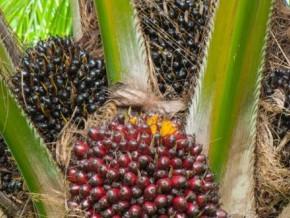 huile-de-palme--pointée-du-doigt-par-l'union-européenne-pour-déforestation-abusive-la-malaisie-veut-s'inspirer-du-modèle-gabonais