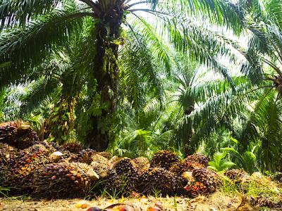 le-gabon-a-produit-70-340-tonnes-d-huile-de-palme-brute-en-2020-en-augmentation-de-27-6