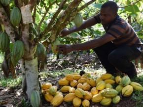 olam-gabon-redynamise-la-culture-du-cacao-dans-le-nord-du-pays