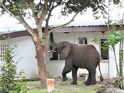 conflit-homme-faune-un-elephant-s-attaque-aux-installations-de-la-seeg-a-koulamoutou