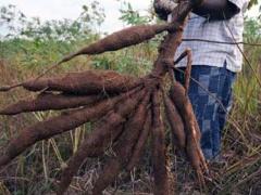 le-gabon-va-outiller-les-petits-agriculteurs-a-la-lutte-contre-les-maladies-virales-du-manioc